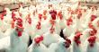 broiler-chicken