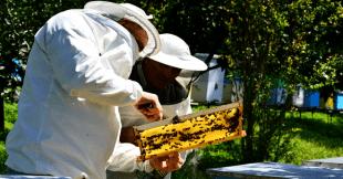თაფლი, ალიონი, აჭარა